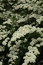 Snowmound Spirea (Spiraea nipponica 'Snowmound') at Vandermeer Nursery