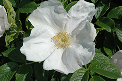 White Rugosa Rose (Rosa rugosa 'Alba') at Vandermeer Nursery