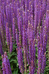 East Friesland Sage (Salvia nemorosa 'East Friesland') at Vandermeer Nursery