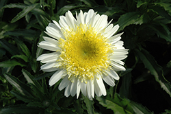 Real Dream Shasta Daisy (Leucanthemum x superbum 'Real Dream') at Vandermeer Nursery