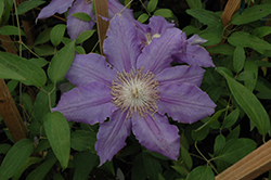 Countess Of Lovelace Clematis (Clematis 'Countess Of Lovelace') at Vandermeer Nursery