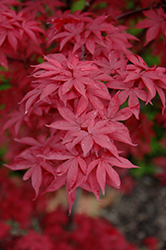 Twombly's Red Sentinel Japanese Maple (Acer palmatum 'Twombly's Red Sentinel') at Vandermeer Nursery