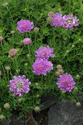 Vivid Violet Pincushion Flower (Scabiosa 'Vivid Violet') at Vandermeer Nursery