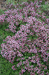 Magic Carpet Thyme (Thymus serpyllum 'Magic Carpet') at Vandermeer Nursery