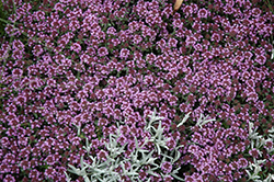 Pink Chintz Creeping Thyme (Thymus praecox 'Pink Chintz') at Vandermeer Nursery