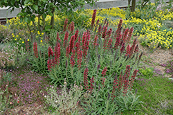Red Feathers (Echium amoenum) at Vandermeer Nursery