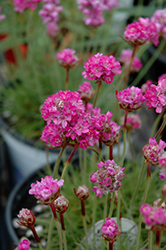 Splendens Sea Thrift (Armeria maritima 'Splendens') at Vandermeer Nursery