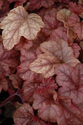 Copper Cascade™ Foamy Bells (Heucherella 'Copper Cascade') at Vandermeer Nursery