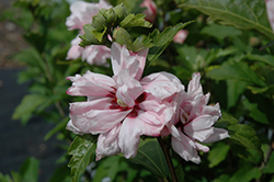 Blushing Bride Rose Of Sharon (Hibiscus syriacus 'Blushing Bride') at Vandermeer Nursery