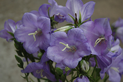Takion Blue Peachleaf Bellflower (Campanula persicifolia 'Takion Blue') at Vandermeer Nursery