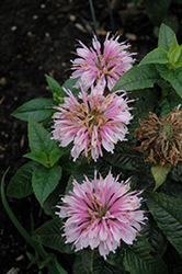 Lilac Lollipop Beebalm (Monarda 'Lilac Lollipop') at Vandermeer Nursery