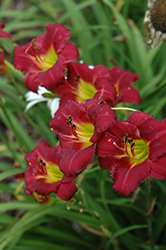 Pardon Me Daylily (Hemerocallis 'Pardon Me') at Vandermeer Nursery