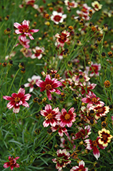 Berry Chiffon Tickseed (Coreopsis 'Berry Chiffon') at Vandermeer Nursery