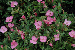 Growing Magenta Dwarf Sundrops (Oenothera 'Glowing Magenta') at Vandermeer Nursery