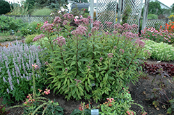 Baby Joe Dwarf Joe Pye Weed (Eupatorium dubium 'Baby Joe') at Vandermeer Nursery