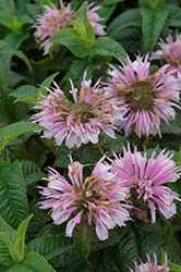 Cotton Candy Beebalm (Monarda 'Cotton Candy') at Vandermeer Nursery