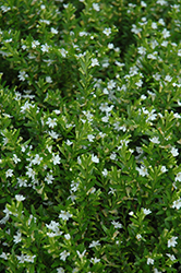White False Heather (Cuphea hyssopifolia 'Alba') at Vandermeer Nursery