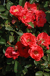 Coral Drift® Rose (Rosa 'Meidrifora') at Vandermeer Nursery