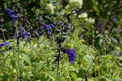 Black And Blue Anise Sage (Salvia guaranitica 'Black And Blue') at Vandermeer Nursery