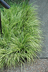 Grassy-Leaved Sweet Flag (Acorus gramineus 'Ogon') at Vandermeer Nursery