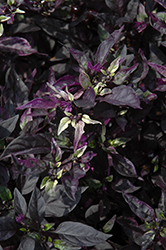 Purple Flash Ornamental Pepper (Capsicum annuum 'Purple Flash') at Vandermeer Nursery