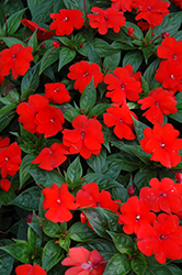 Divine™ Orange New Guinea Impatiens (Impatiens hawkeri 'Divine Orange') at Vandermeer Nursery