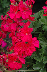 Calliope® Hot Pink Geranium (Pelargonium 'Calliope Hot Pink') at Vandermeer Nursery
