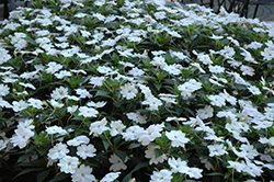 SunPatiens® Vigorous White New Guinea Impatiens (Impatiens 'SunPatiens Vigorous White') at Vandermeer Nursery