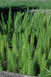 Mare's Tail (Hippuris vulgaris) at Vandermeer Nursery