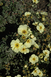 Lemon Sweetie Potentilla (Potentilla fruticosa 'Summer Dawn') at Vandermeer Nursery