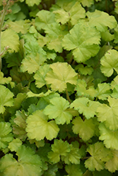 Harvest™ Lemon Chiffon Coral Bells (Heuchera 'Harvest Lemon Chiffon') at Vandermeer Nursery