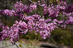 Hearts of Gold Redbud (Cercis canadensis 'Hearts of Gold') at Vandermeer Nursery
