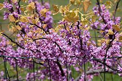 The Rising Sun Redbud (Cercis canadensis 'The Rising Sun') at Vandermeer Nursery