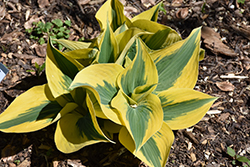 Autumn Frost Hosta (Hosta 'Autumn Frost') at Vandermeer Nursery