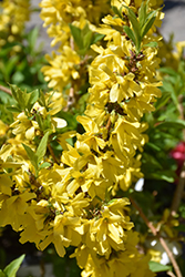 Show Off® Starlet Forsythia (Forsythia x intermedia 'Minfor6') at Vandermeer Nursery