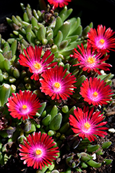 Jewel Of Desert Garnet Ice Plant (Delosperma 'Jewel Of Desert Garnet') at Vandermeer Nursery