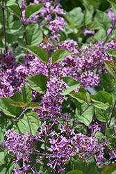Bloomerang® Dark Purple Lilac (Syringa 'SMSJBP7') at Vandermeer Nursery