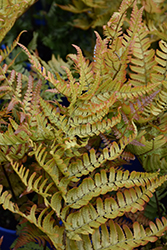 Brilliance Autumn Fern (Dryopteris erythrosora 'Brilliance') at Vandermeer Nursery