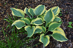 Liberty Hosta (Hosta 'Liberty') at Vandermeer Nursery