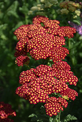Strawberry Seduction Yarrow (Achillea millefolium 'Strawberry Seduction') at Vandermeer Nursery