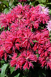 Cherry Pops Beebalm (Monarda 'Cherry Pops') at Vandermeer Nursery