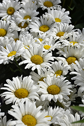 Daisy May Shasta Daisy (Leucanthemum x superbum 'Daisy Duke') at Vandermeer Nursery