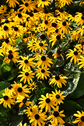 Orange Coneflower (Rudbeckia fulgida) at Vandermeer Nursery