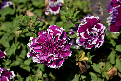 Pirouette Purple Petunia (Petunia 'Pirouette Purple') at Vandermeer Nursery
