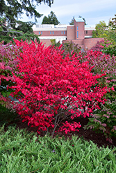 Compact Winged Burning Bush (Euonymus alatus 'Compactus') at Vandermeer Nursery