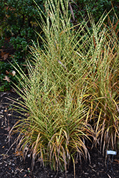 Gold Breeze Maiden Grass (Miscanthus sinensis 'Gold Breeze') at Vandermeer Nursery