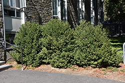 Green Mountain Boxwood (Buxus 'Green Mountain') at Vandermeer Nursery