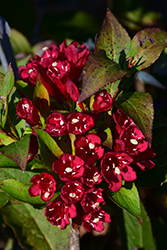 Maroon Swoon® Weigela (Weigela 'Slingco 2') at Vandermeer Nursery