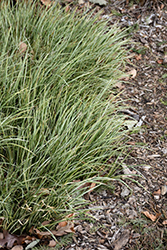 Variegated Grassy-Leaved Sweet Flag (Acorus gramineus 'Variegatus') at Vandermeer Nursery