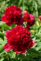 Red Charm Peony (Paeonia 'Red Charm') at Vandermeer Nursery